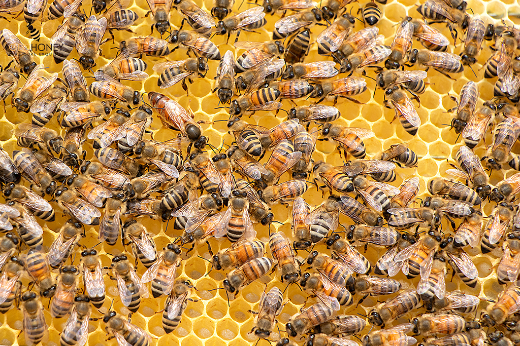 Find Out How An Engineered Bacteria Could Protect Bees Health